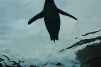Penguin33